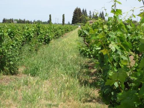 The ZinStar Organic Certified vineyard.