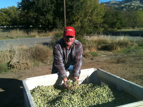 Mike Mitchell with his harvest of Big Red Farms hand-picked olives.